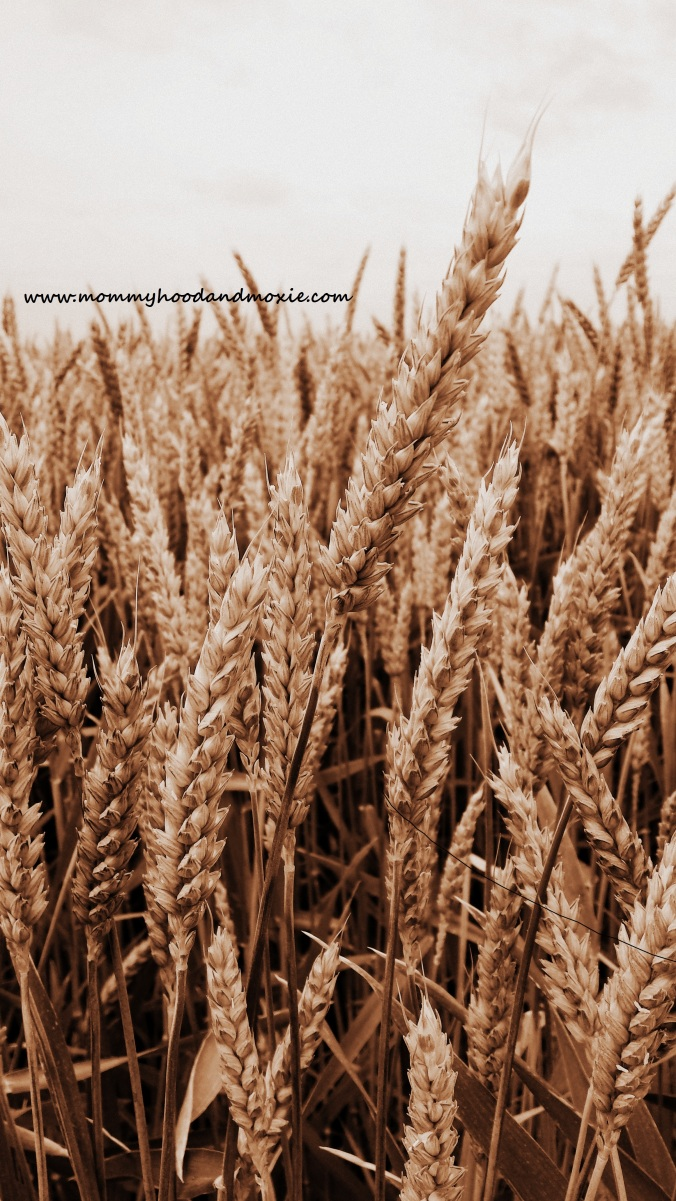 Wheat Field - for blog